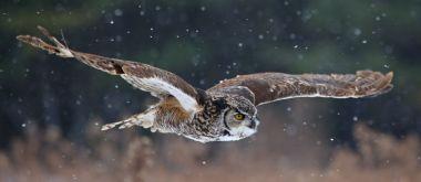 great-horned-owl-flying