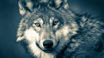 Wolf-Spirit-Animal-Totem-Symbolism-and-Meaning1